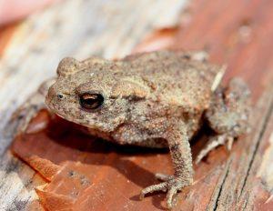 Nouvelles naturelles de Février – Rana la grenouille